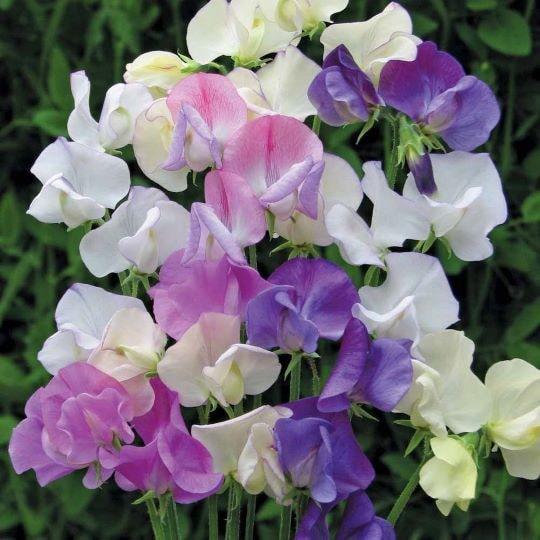 Разноцветье окраса цветов душистого горошка
