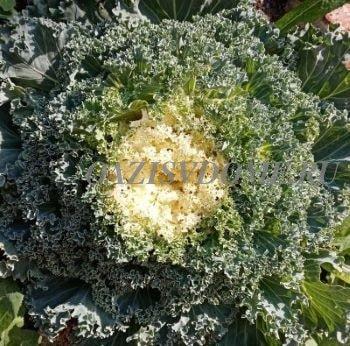 Выращивание из семян декоративной капусты через рассаду пошагово с фото