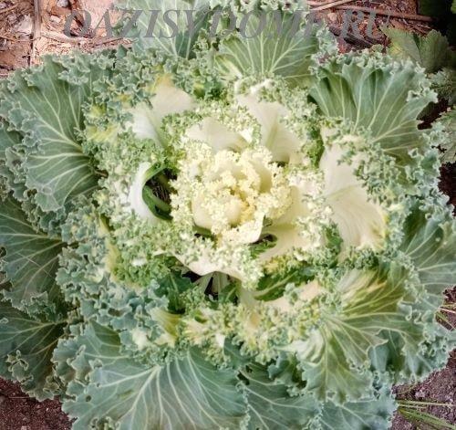 Кочан декоративной капусты