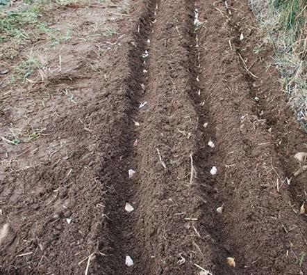 Схема весенней посадки чеснока