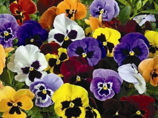 Разноцветье цветов виолы