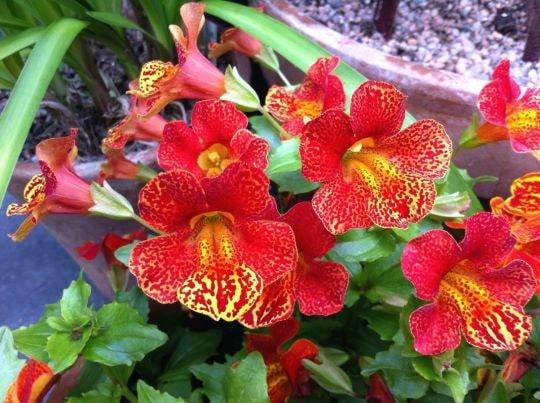 Садовый цветок Мимулюс Водевиль