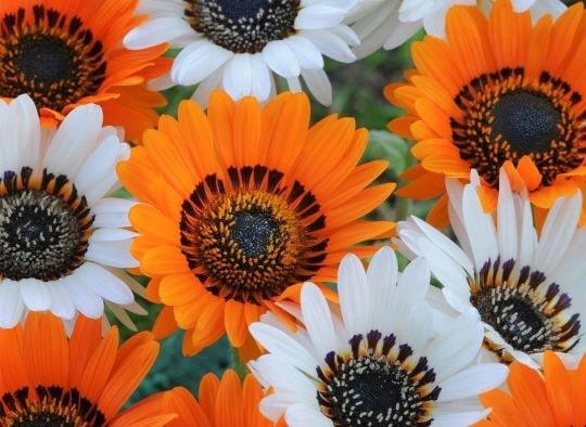 Цветы садового цветка венидиум