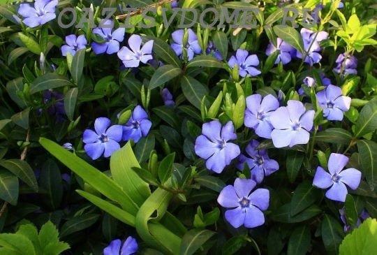 Цветение садового барвинка