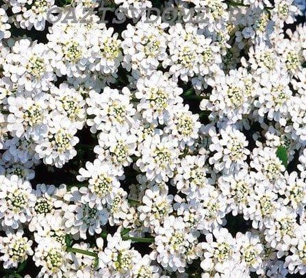 Цветение белого ибериса