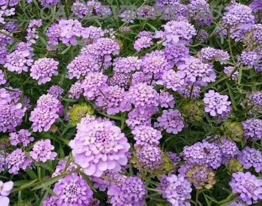 Цветение садового ибериса