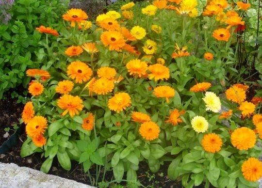 Календула или ноготки в саду