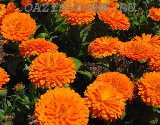 Цветение в саду календулы