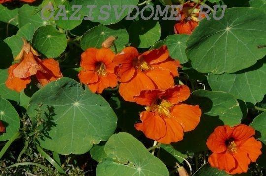 Яркие цветки настурции