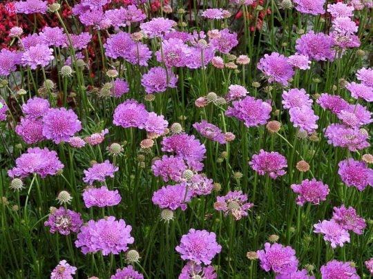 Цветы садового цветка скабиоза