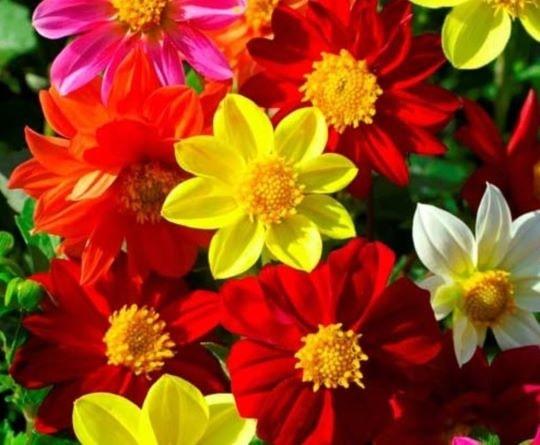 Цветы садового цветка однолетний георгин