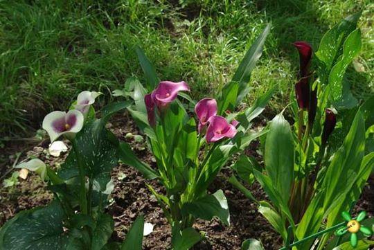Цветение садовой каллы из клубней