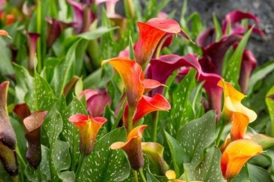 Садовые цветы каллы