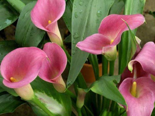 Цветение клубневой каллы