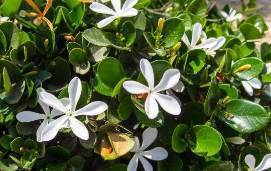 Садовый цветок лаурентия