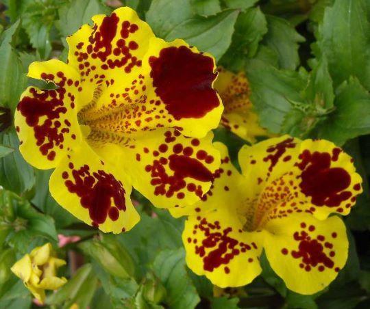 Цветение цветка Мимулюс