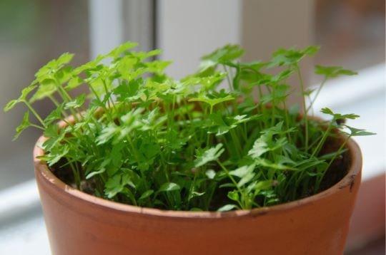 Выращивание петрушки дома на подоконнике