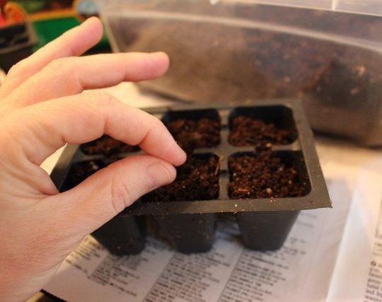 Посев семян петрушки на рассаду