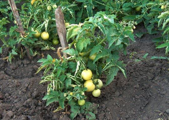 Кусты низкорослых томатов