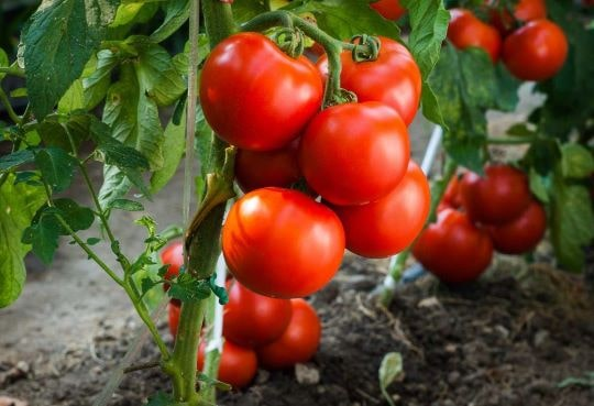 Плодоношение низкорослых помидоров
