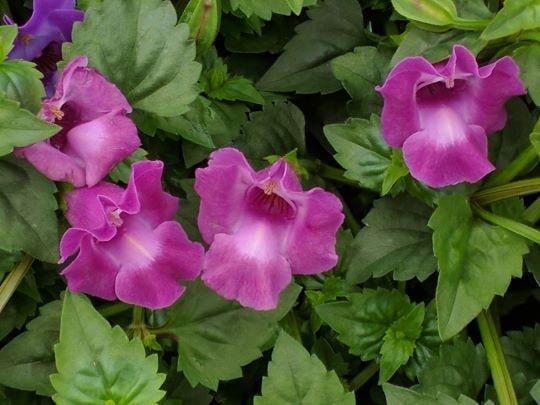 Садовый цветок торения