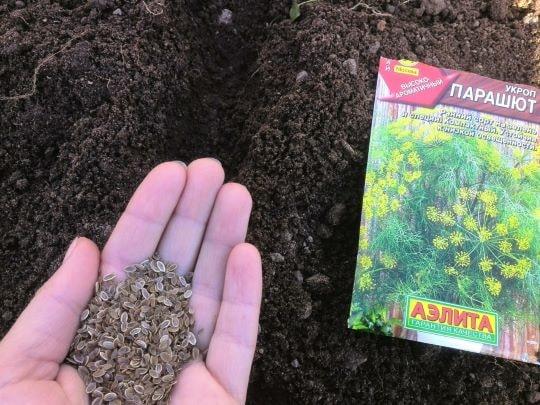Посев укропа в открытый грунт