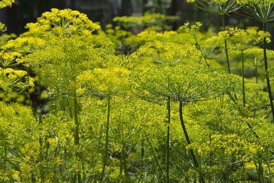 На фото зонтики растения укроп