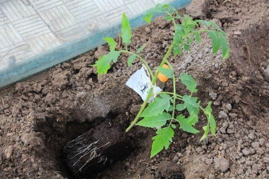 Саженец томата в лунке перед закапыванием