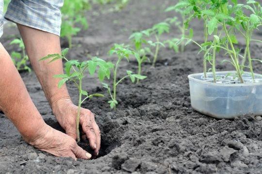 Посадка саженца томатов в лунку