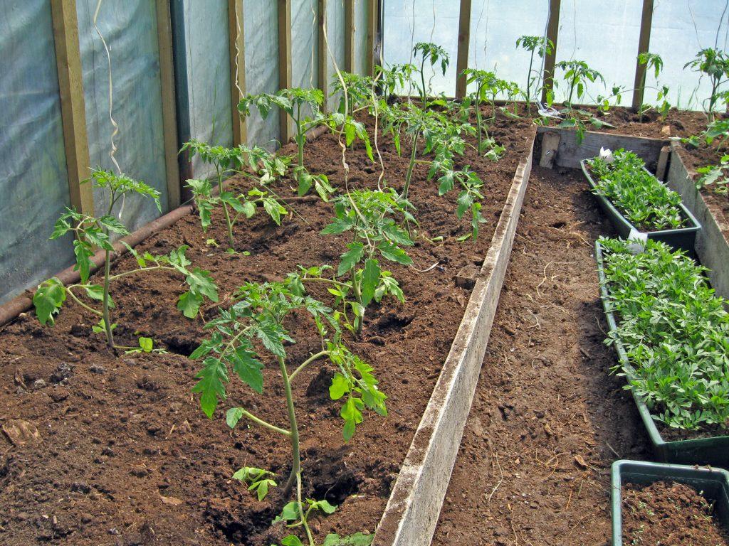 Молодые томаты в теплице
