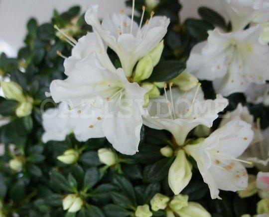 Азалия белая цветет