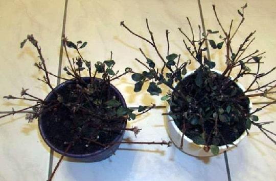 Азалия сбросила листья