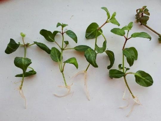 Черенки фуксии с корнями