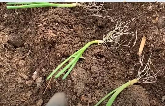 Высадка лука батуна в открытый грунт