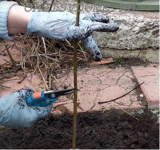 Обрезка саженца персика после посадки