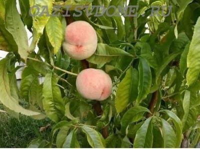 Особенности посадки и выращивания персиков в Сибири и Подмосковье