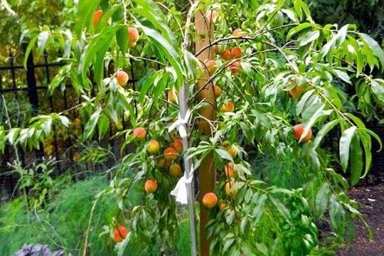 Плодоношение персиков в саду
