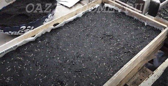 Посев семян вербены на рассаду