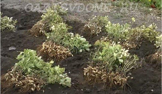 Выкопка урожая арахиса