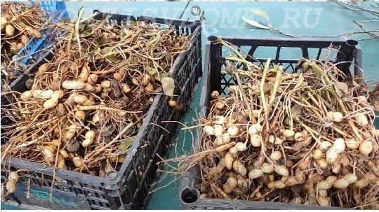Просушка урожая арахиса