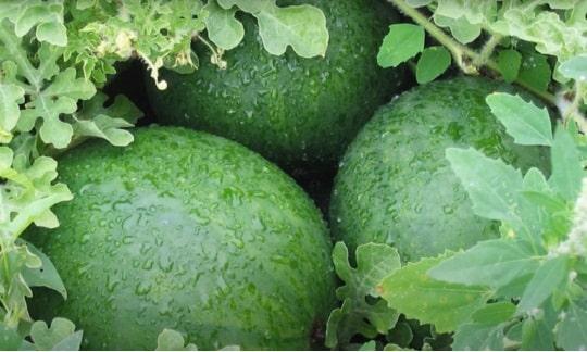 На фото плоды арбузов