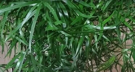 Листья цветка аспарагус
