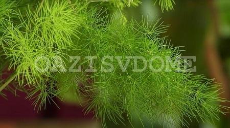 Уход за комнатным цветком аспарагус и пересадка в домашних условиях