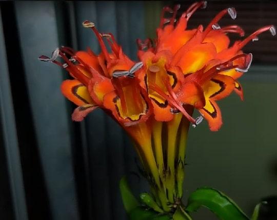Цветы эсхинантуса Великолепный