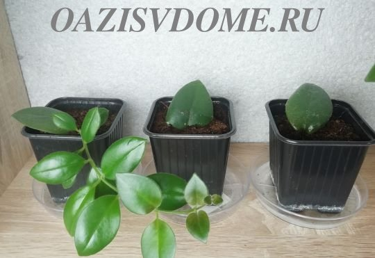 Размножение эсхинантуса листом и черенком