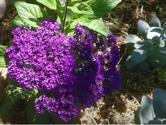 Цветение садового гелиотропа