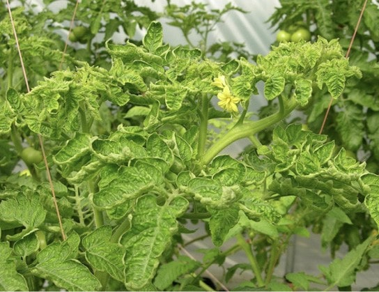 У помидоров скручиваются листья