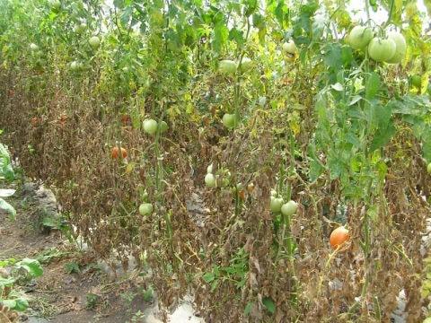 Желтые листья на кустах томатов