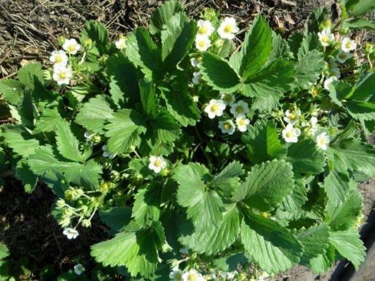 Цветущий куст садовой земляники
