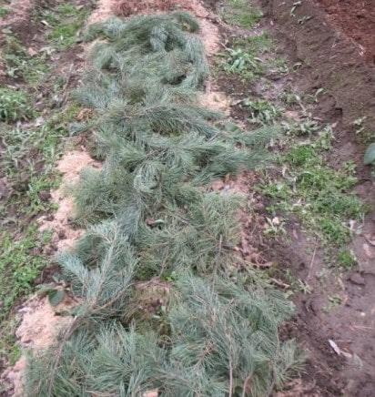 Укрытая лапником на зиму грядка с клубникой